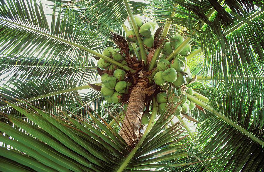Coconuts On Palm Tree Photograph by Otto Stadler