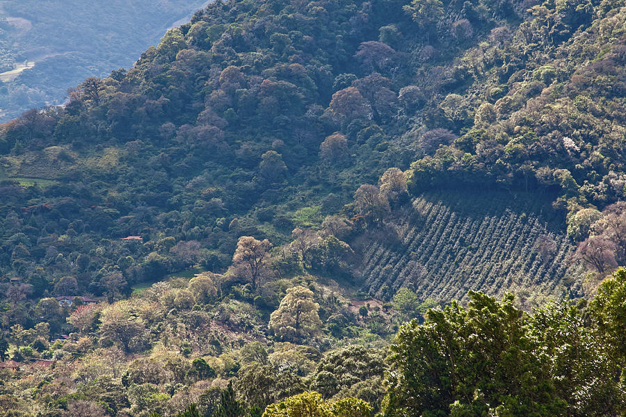 Coffee plantation in Panama by Tatiana Travelways