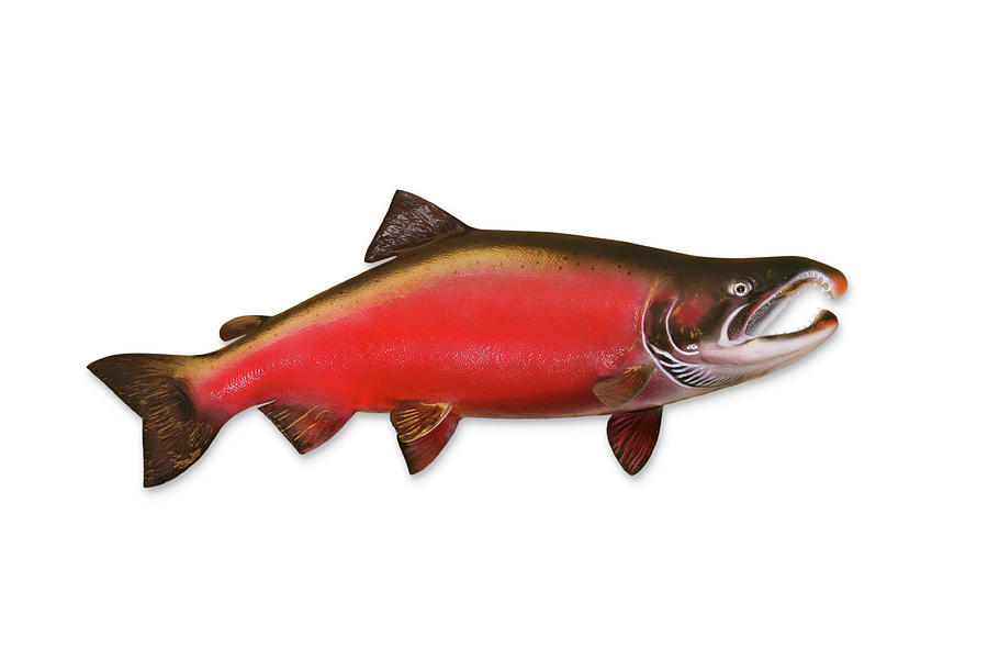 Coho Salmon With Clipping Path Photograph by Georgepeters