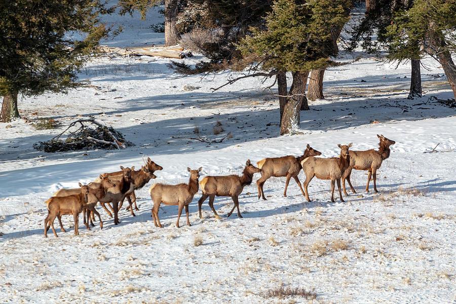 Cold Winter Morning Elk Herd Photograph