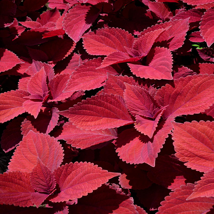 Coleus Close-up Squared by Michael McBrayer