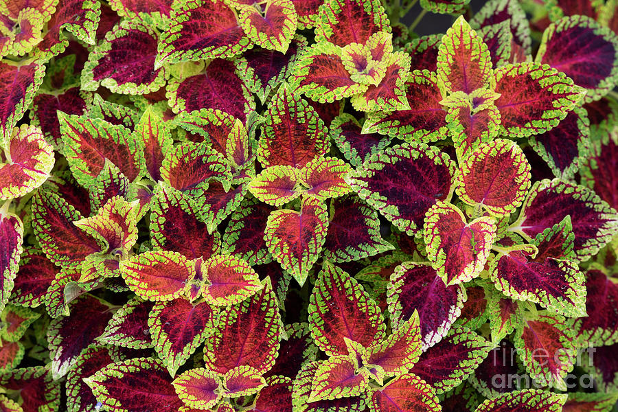 Coleus Red dwarf by Tim Gainey