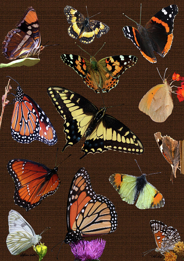 Collage of CA Butterflies by David Salter