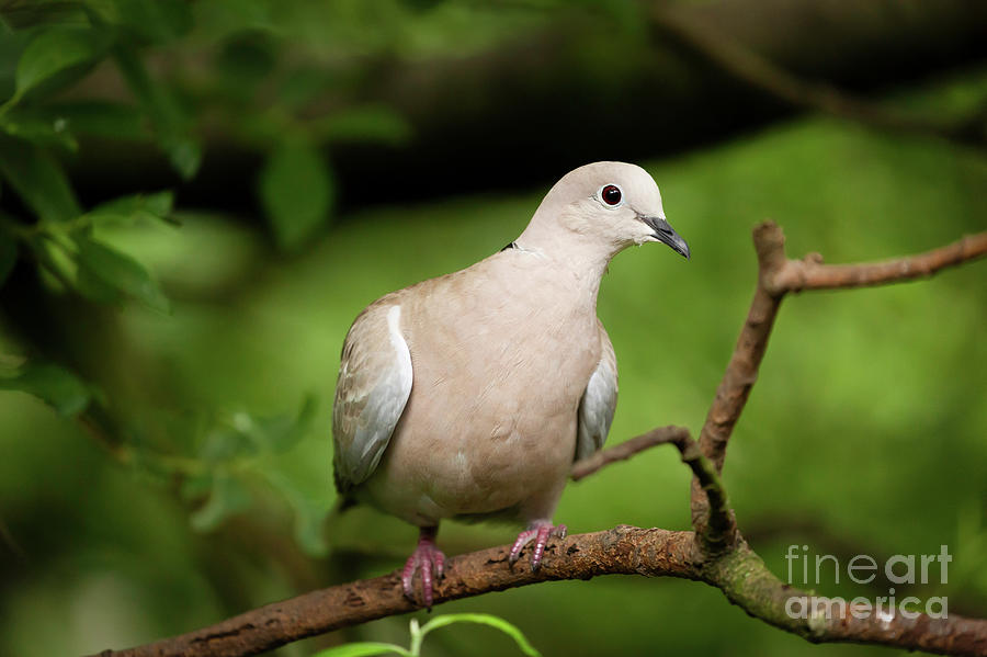 Collared dove wild bird in a tree by Simon Bratt Photography LRPS