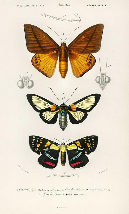 Collection Of Moths Illustrated By Charles Dessalines D Orbigny   1806-1876 Painting
