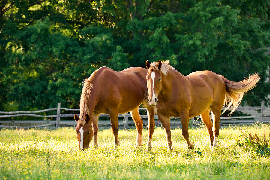 Colonial Draft Horses in the Spring by Rachel Morrison