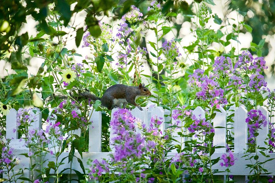 Colonial Squirrel on a Garden Fence by Rachel Morrison
