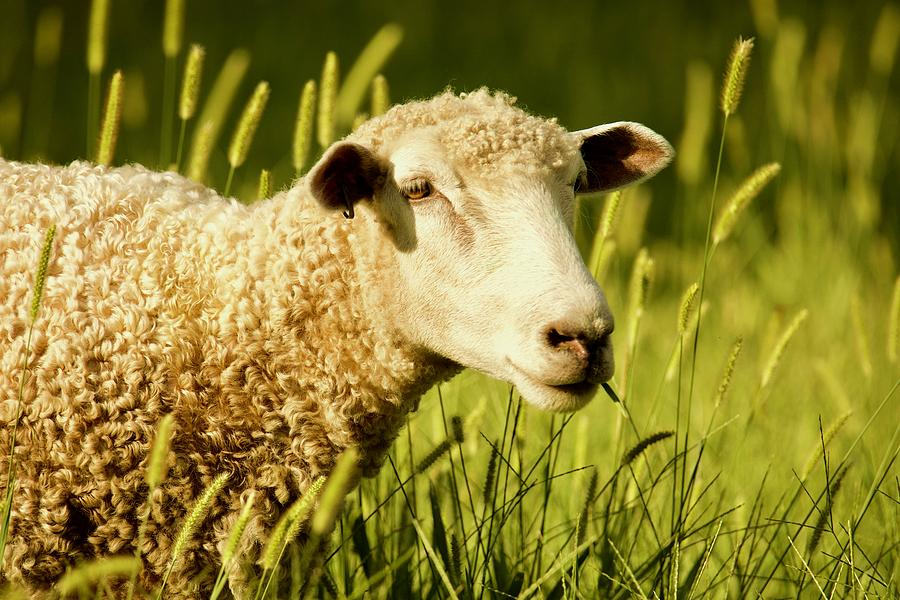 Colonial Summer Sheep by Rachel Morrison