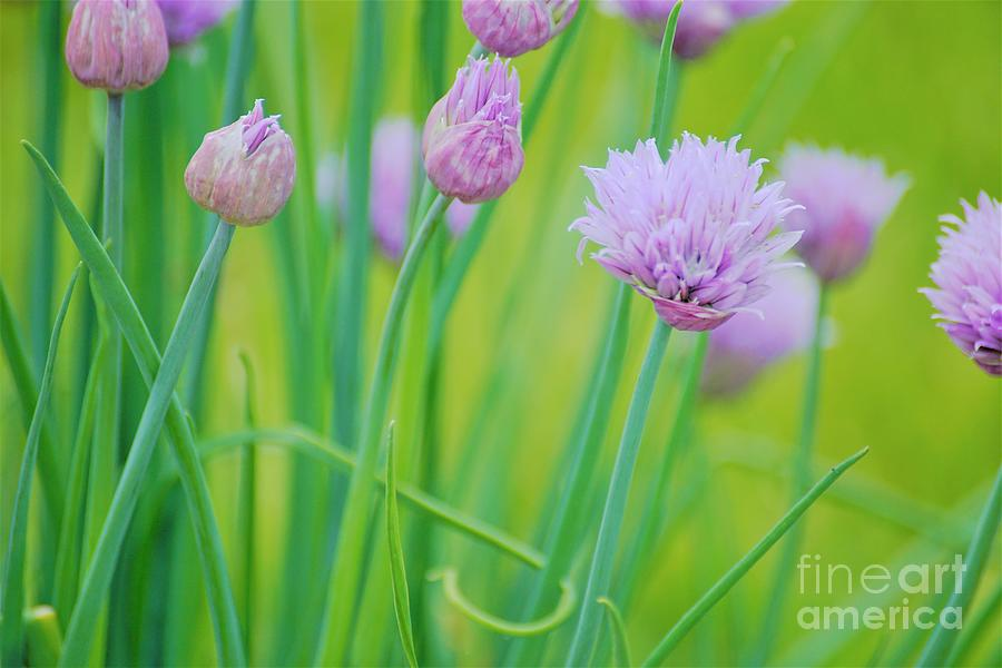 Color Me Chives by Merle Grenz