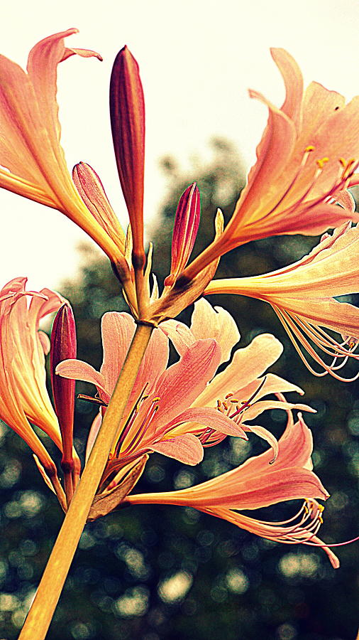 Lily Photograph - Color Tone Pink Lady Lily by Kathy Barney