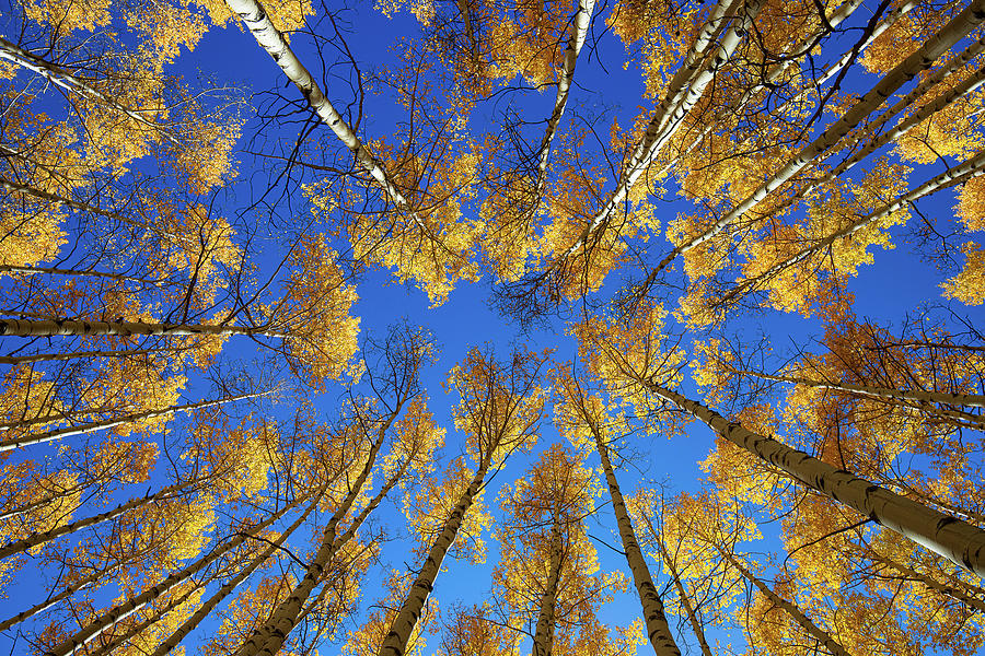 Colorado Aspens in the Fall, Straight Up - Horizontal by Tim Stanley