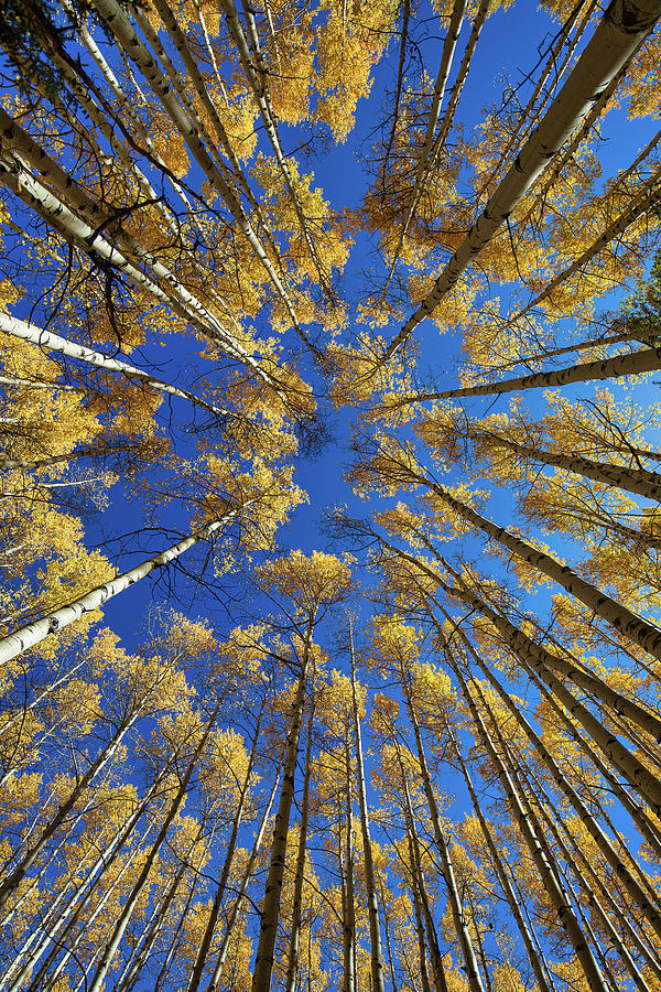 Colorado Aspens In The Fall, Straight Up - Vertical by Tim Stanley