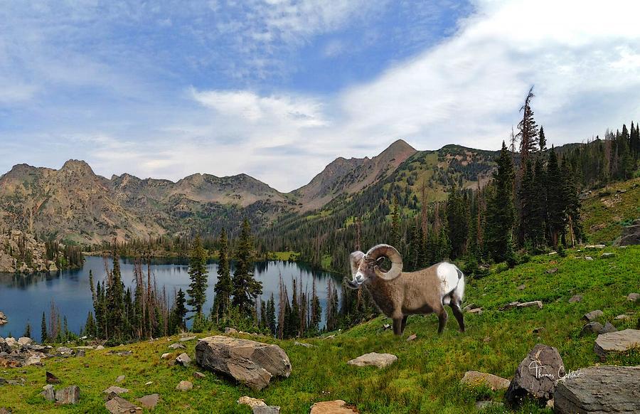 Colorado Bighorn Ram by Thomas Colstad