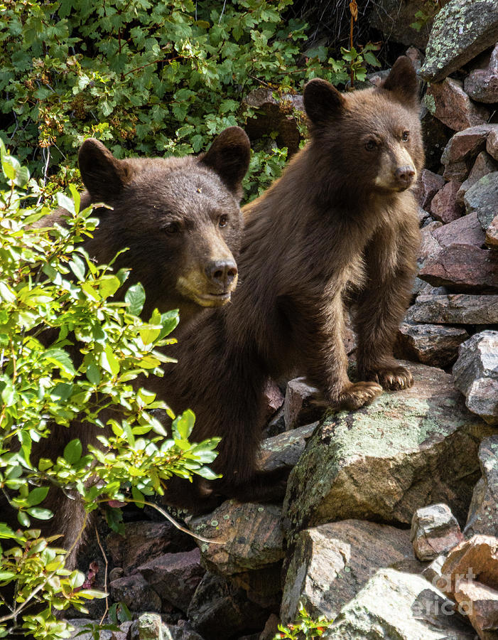 Colorado Black Bear Family by Steve Krull