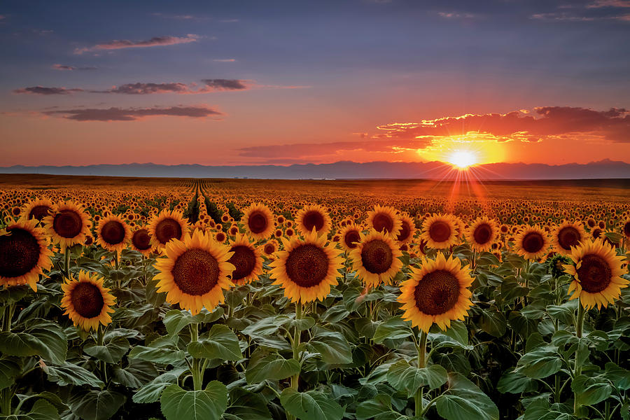 Colorado Colorful Sunflower Sunset Over The Mountains Photograph By Teri Virbickis