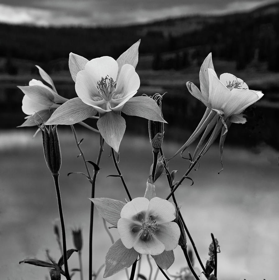 Colorado Columbines in Black and White by Dave Dilli