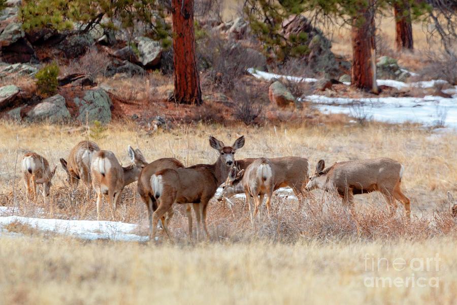 Colorado High Country Deer Photograph