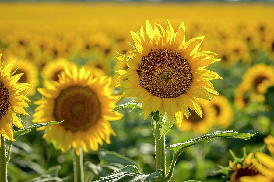 Colorado Sunflowers Forever by Teri Virbickis