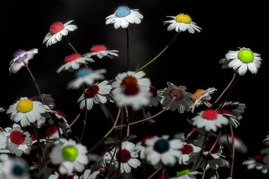 Colored Daisies by Wolfgang Stocker