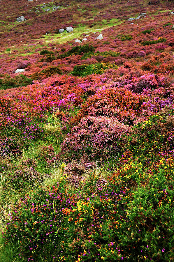 Colorful Autumn in Wicklow.  Magenta Hills by Jenny Rainbow