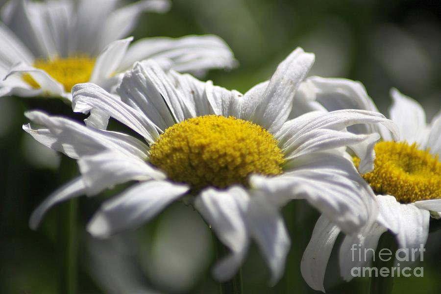 Daisy Photograph - Colorful Blooming Daisies 004 by Mrsroadrunner Photography