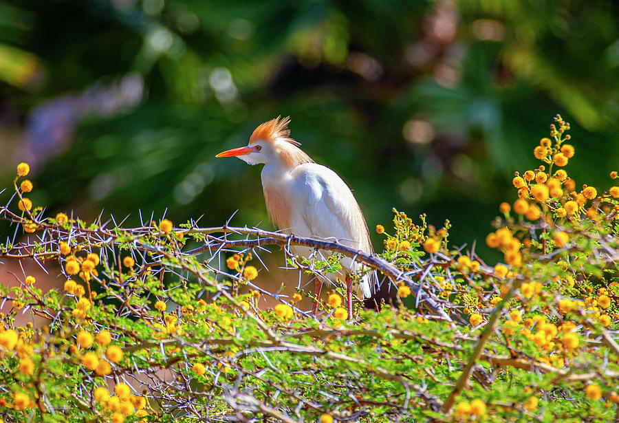 Colorful Cattle Egret by Anthony Jones