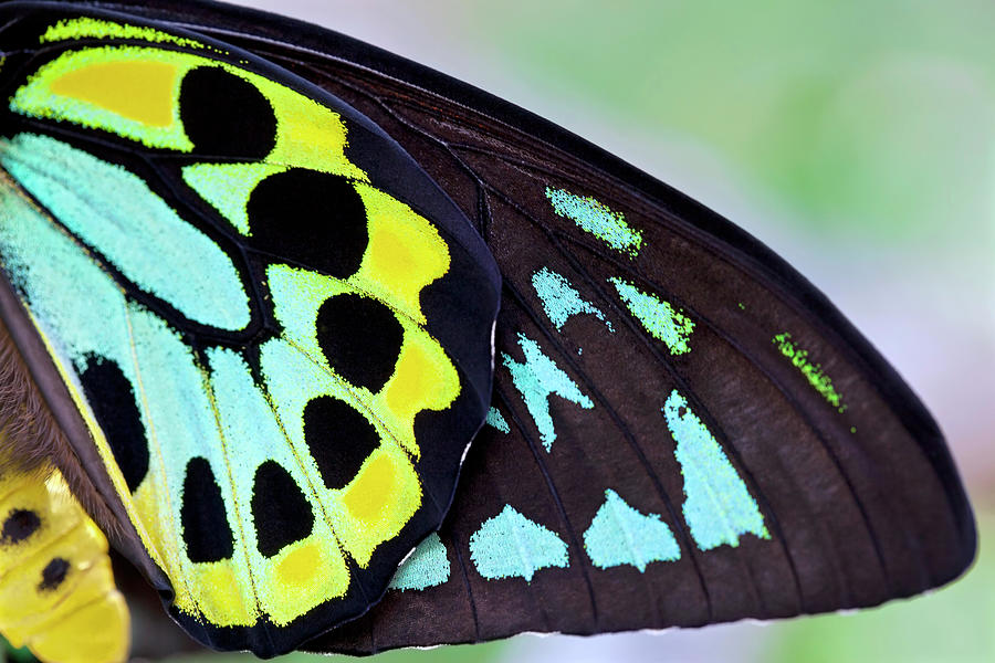 Colorful Male Birdwing Butterfly Photograph by Jodijacobson