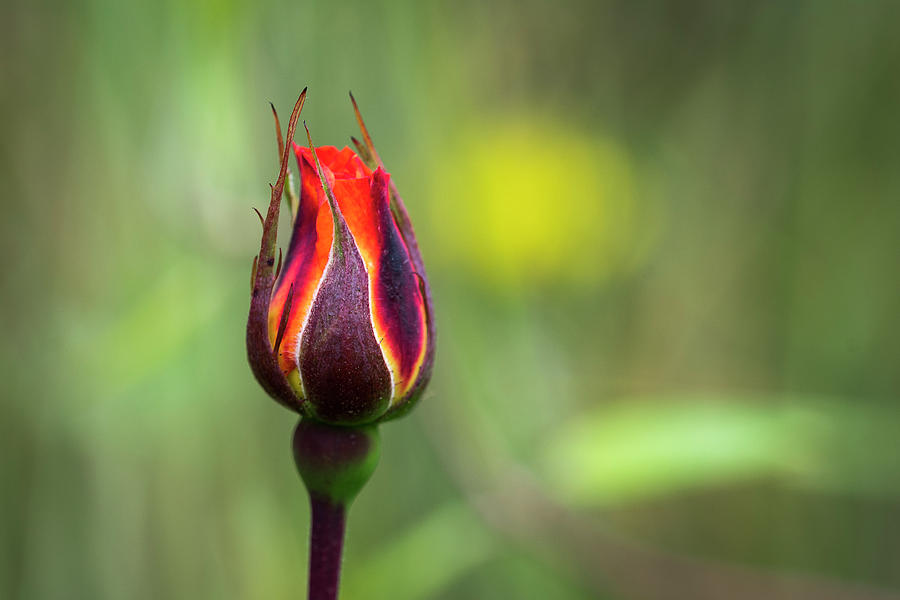 Colorful Rosebud by Robert Potts