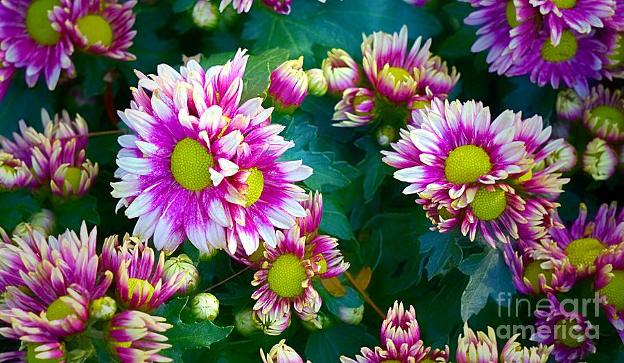 Colorful Spring Daisy Blooms  by Ian Gledhill