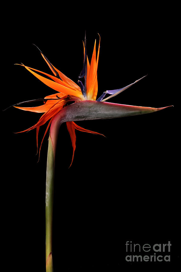 Floral Photograph - Colorful Strelitzia Flower Also Called by Johan Swanepoel