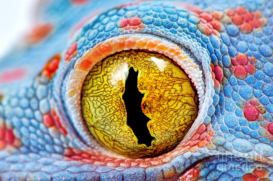 Color Photograph - Colorful Tokes Gecko Amazing Eye Macro by Sebastian Janicki