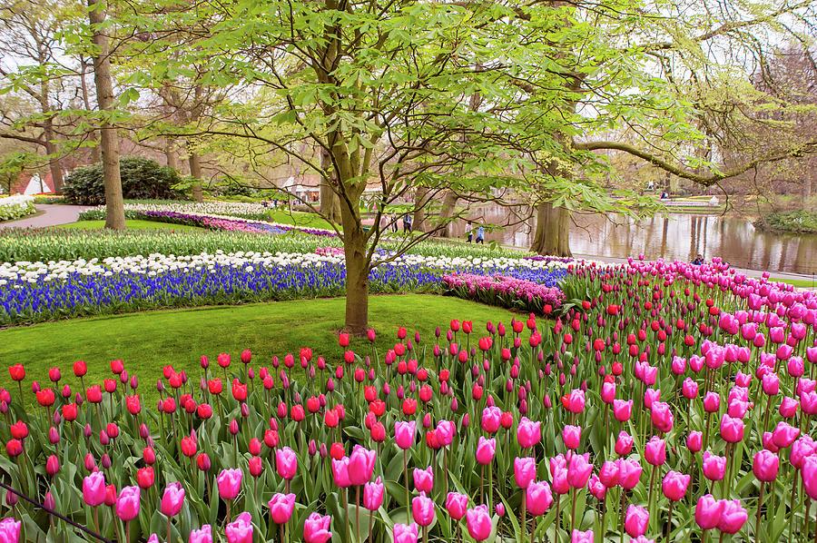 Colorful Tulips Fields of Keukenhof by Jenny Rainbow