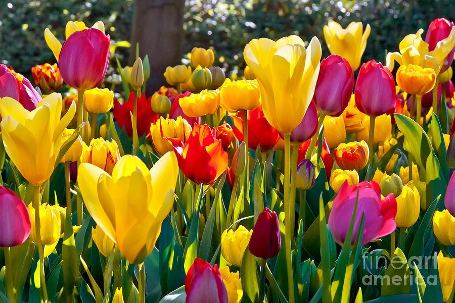 Pink Photograph - Colorful Tulips In The Park. Spring by Artens