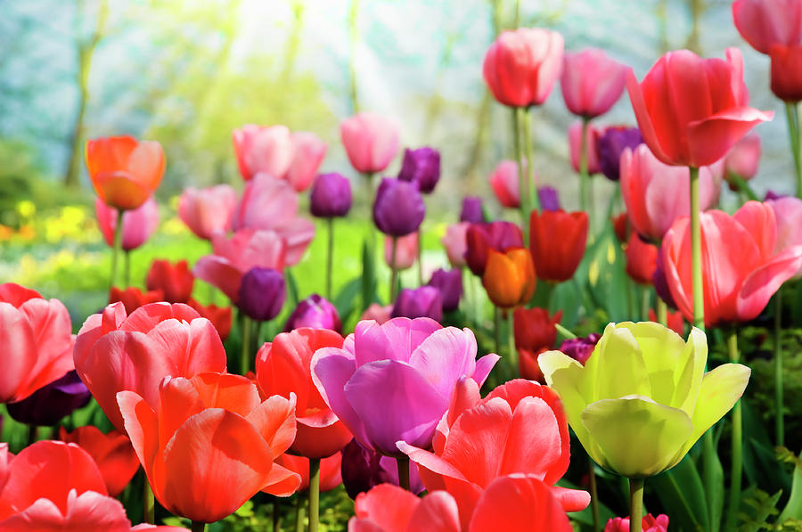 Colorful Tulips Photograph by Jacobh