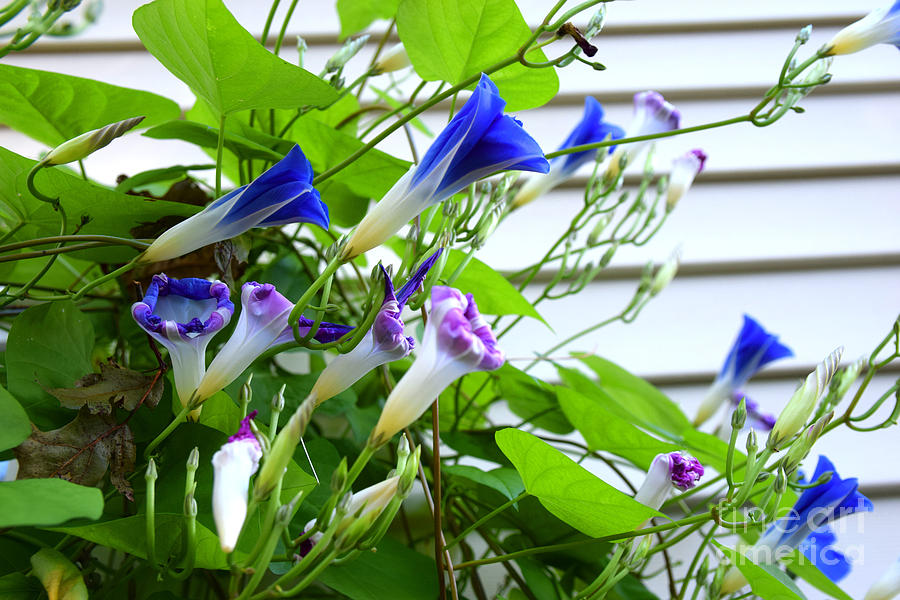 Colors and Shapes of Morning Glories by Deborah A Andreas