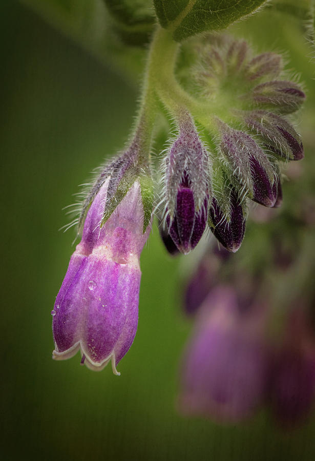 Comfrey Blossom by Mary Jo Allen