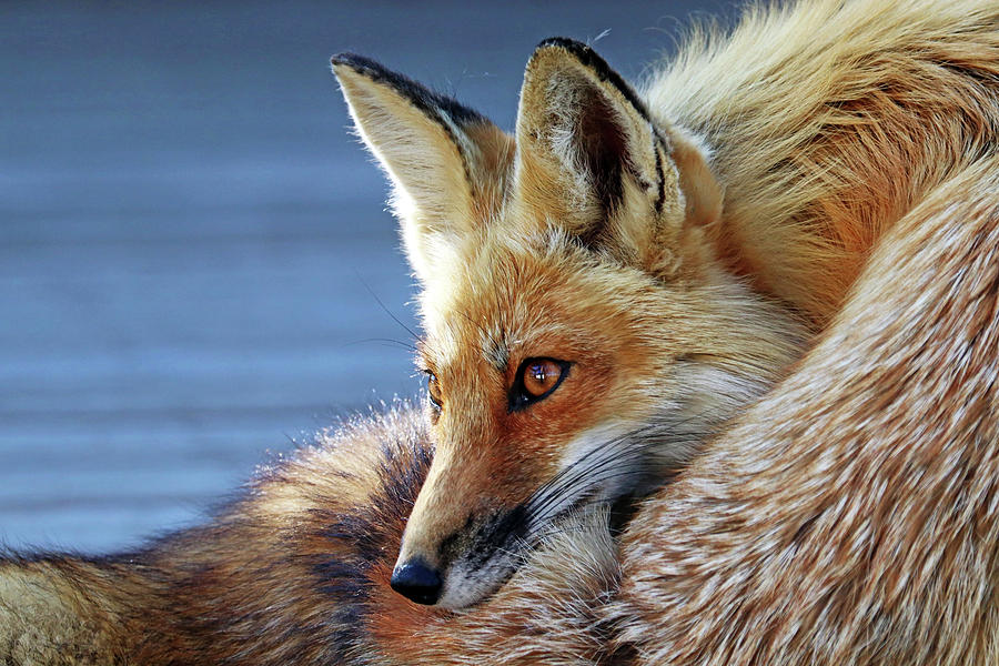 Comfy Fox by Debbie Oppermann