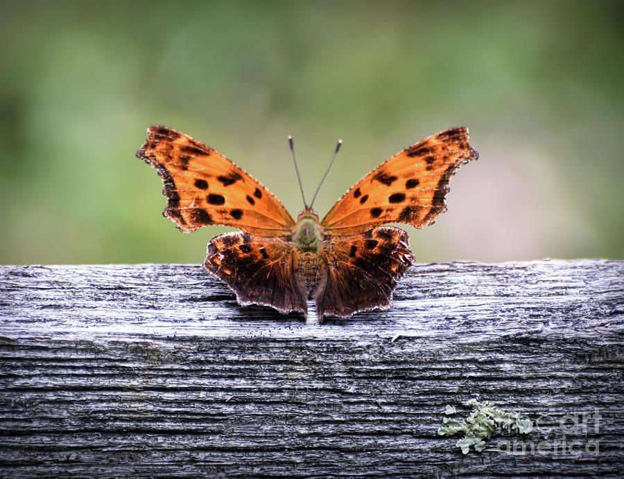 Comma Butterfly by Kerri Farley