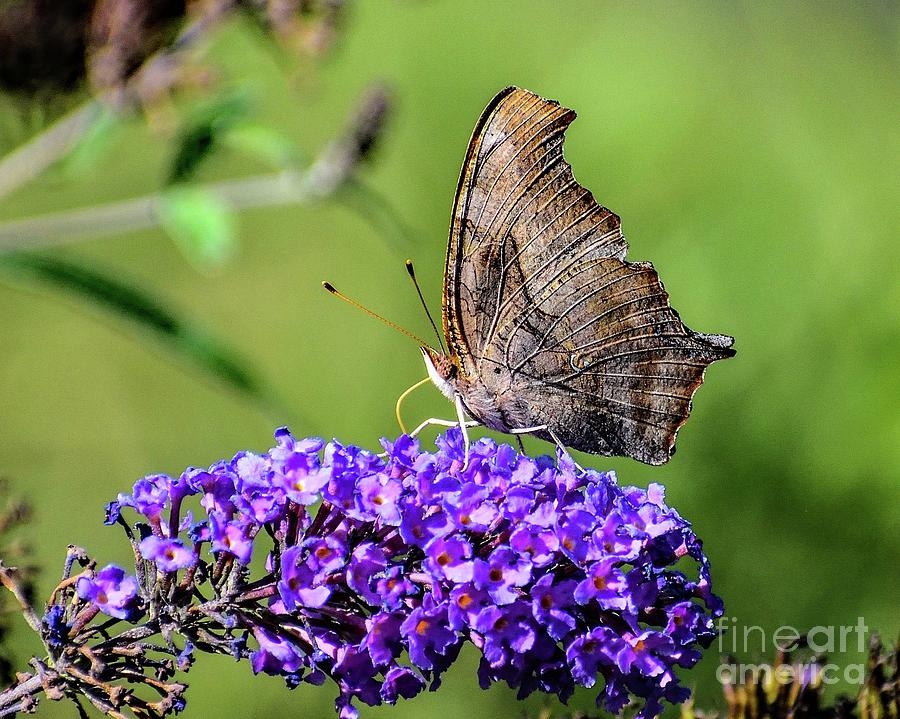 Comma Butterfly Striking A Pose by Cindy Treger