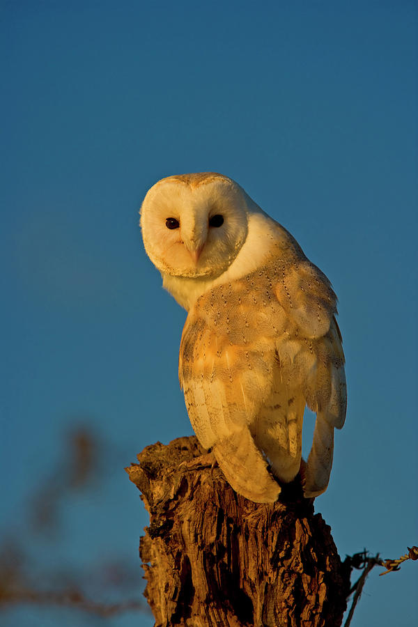 Common Barn Owl Tyto Alba Perching Photograph by Andy Rouse