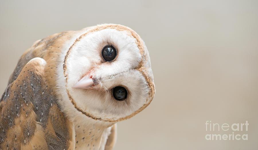 Studio Photograph - Common Barn Owl  Tyto Albahead  Head by Anan Kaewkhammul