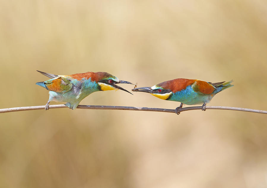 Bee Photograph - Common Bee-eater - Pair by Shlomo Waldmann