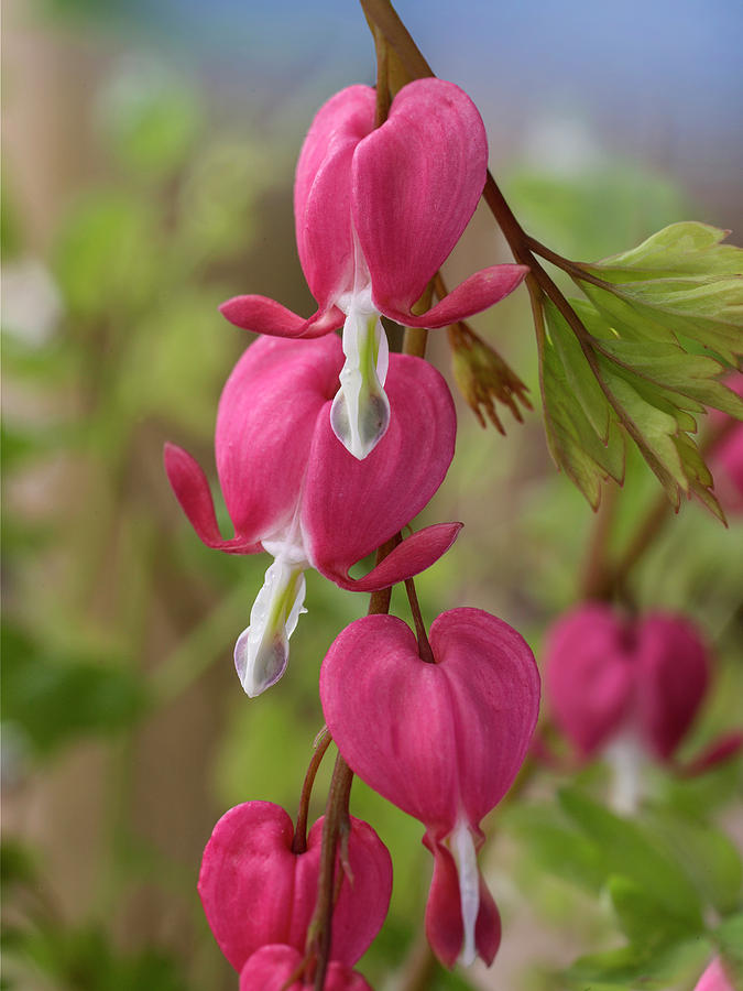 Mp Photograph - Common Bleeding Hearts, North America by Tim Fitzharris