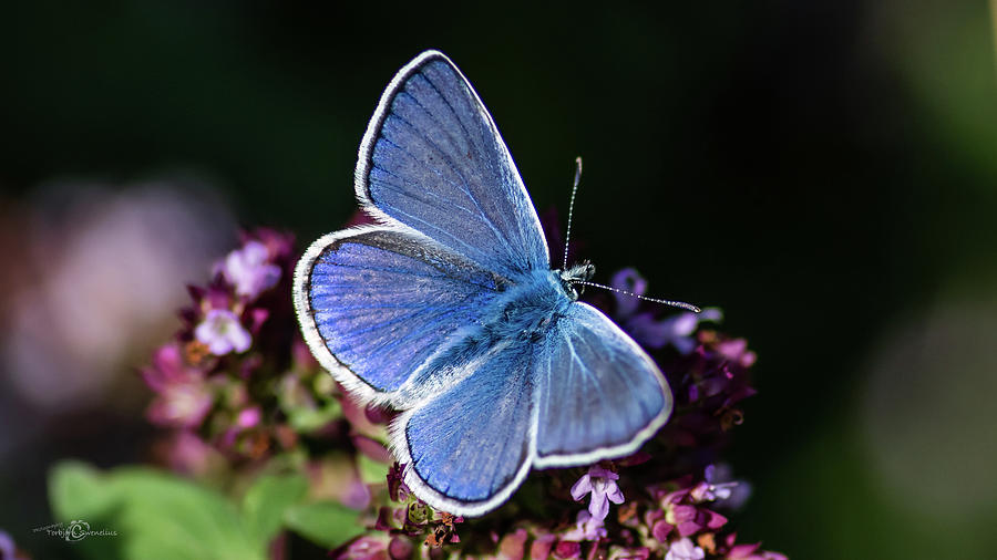 Common Blue like the oregano by Torbjorn Swenelius