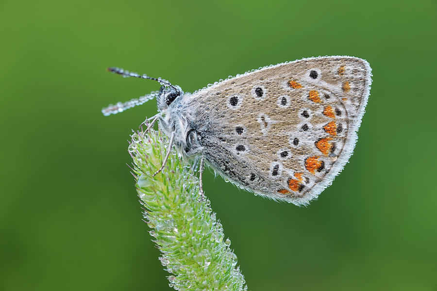 Common Blue Polyommatus Icarus Photograph by Martin Ruegner