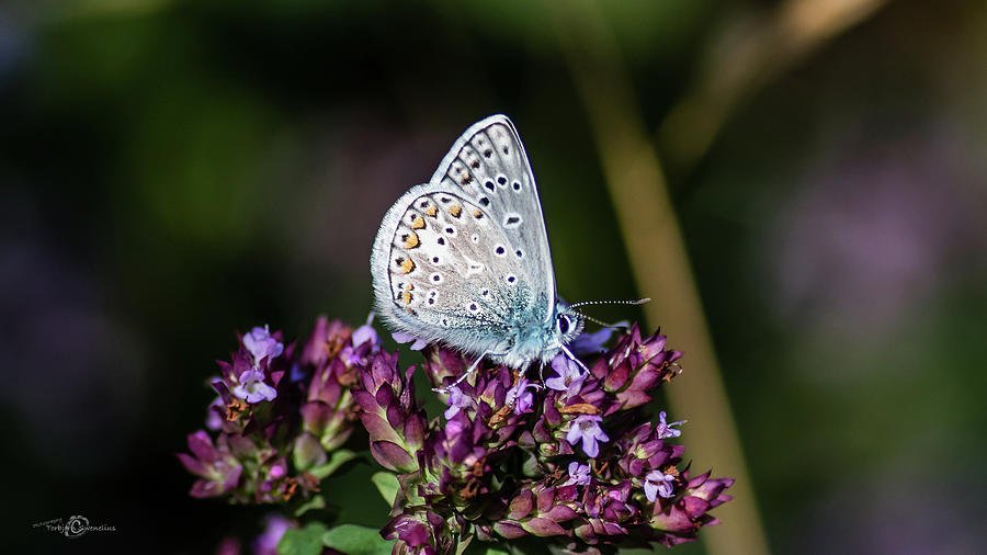Common Blue showing the underside while perching on the oregano by Torbjorn Swenelius