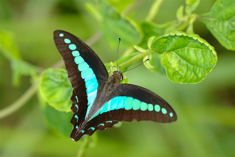 Common Bluebottle Graphium Sarpedon Of Photograph by Tcp