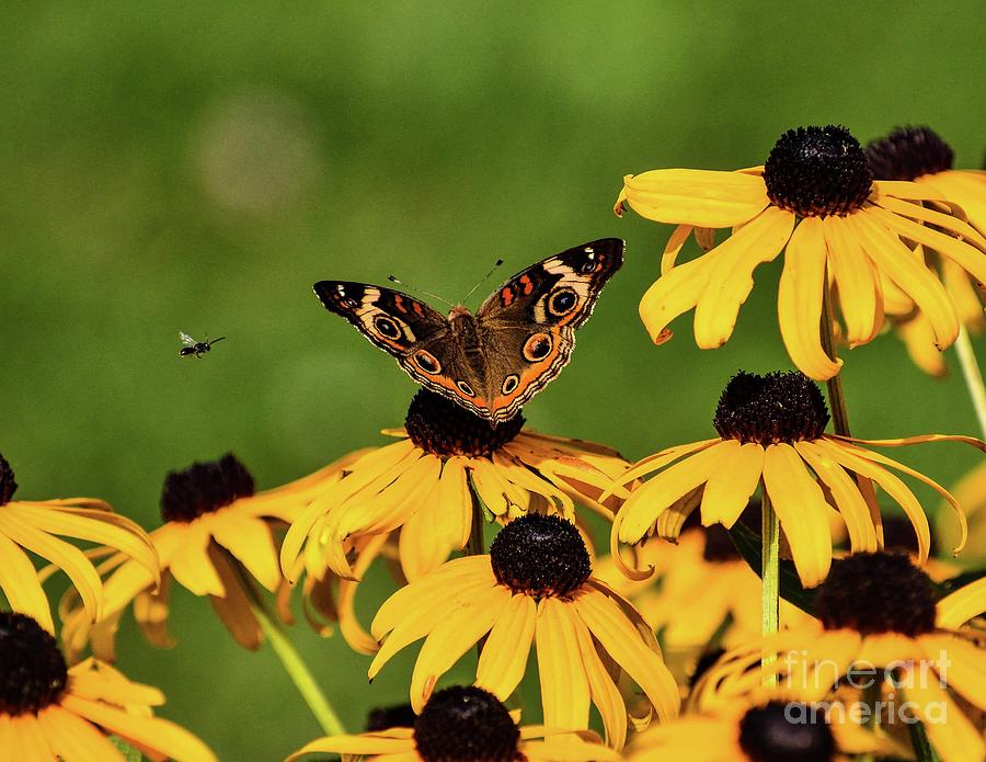 Common Buckeye And Friend by Cindy Treger