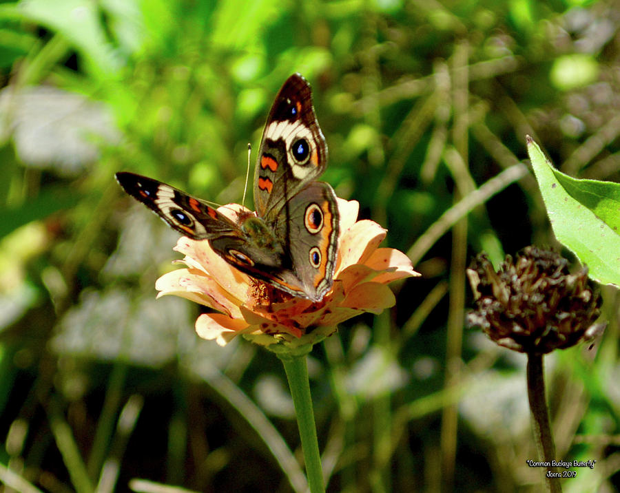 Common Buckeye Butterfly Photograph