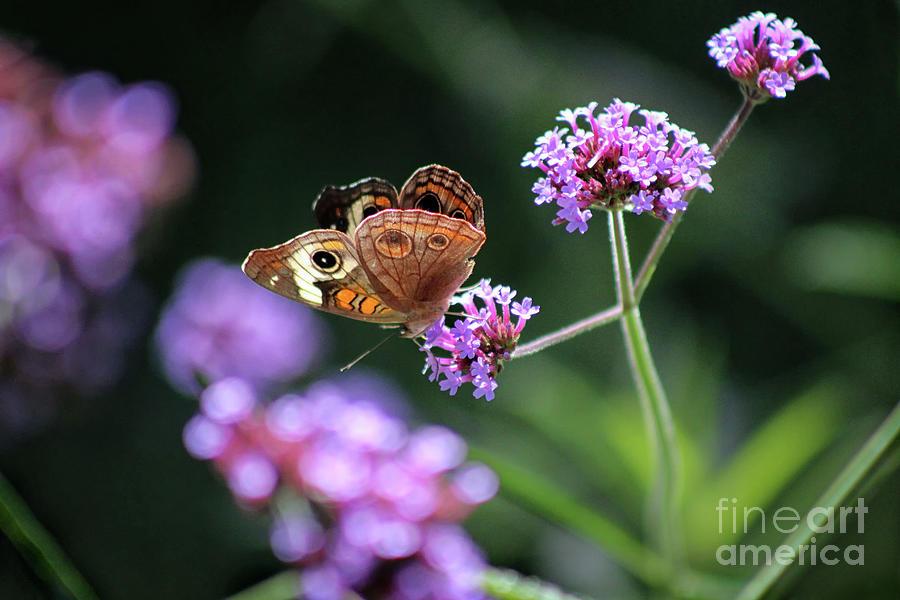 Buckeye Butterfly Photograph - Common Buckeye Butterfly In 2015 by Karen Adams